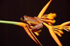 Il Borneo - treefrog VI di volo del Harlequin Fotografia Stock