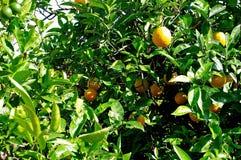 Il boschetto arancio Fotografia Stock