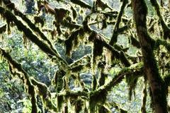 Il boschetto dell'albero del tasso e dell'albero del bookswood è un sito naturale nel villaggio ospite, Soci, Krasnodar Krai, Rus immagini stock