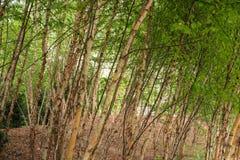 il boschetto di verde del fogliame della betulla può fotografie stock libere da diritti