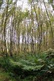 il boschetto di verde del fogliame della betulla può Immagini Stock Libere da Diritti