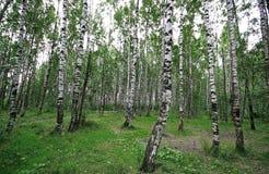 il boschetto di verde del fogliame della betulla può Immagine Stock