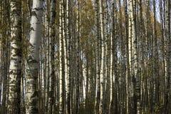 il boschetto di verde del fogliame della betulla può Tronchi in bianco e nero Fotografia Stock Libera da Diritti