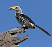 Il Botswana - Hornbill di Yellowbilled Fotografia Stock