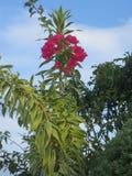 Il Bougainville rosso Fotografia Stock