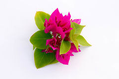 il bougainvillea fiorisce il colore rosso Fotografie Stock