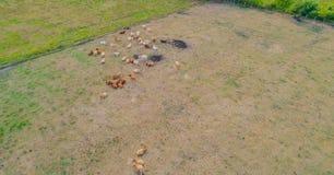 Il bovino soffre dalla siccità nei campi fotografia stock