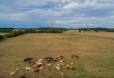 Il bovino soffre dalla siccità nei campi fotografia stock libera da diritti