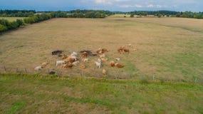 Il bovino soffre dalla siccità nei campi immagine stock