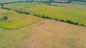 Il bovino soffre dalla siccità nei campi in Germnay immagini stock