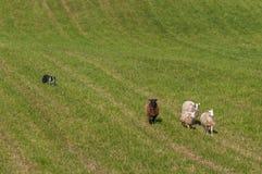 Il branco del cane muove il gruppo di ovis aries delle pecore dentro dal pascolo Immagine Stock