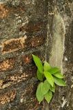 Il brickwall & l'albero 2 Fotografie Stock