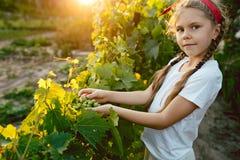 Il brunch della ragazza e dell'uva del bambino, lavoro su un'azienda agricola familiare Immagini Stock