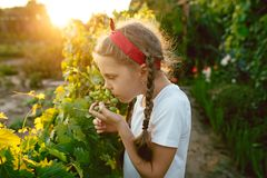 Il brunch della ragazza e dell'uva del bambino, lavoro su un'azienda agricola familiare Fotografia Stock