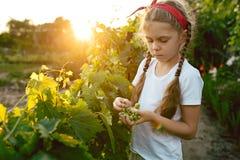 Il brunch della ragazza e dell'uva del bambino, lavoro su un'azienda agricola familiare Immagine Stock Libera da Diritti