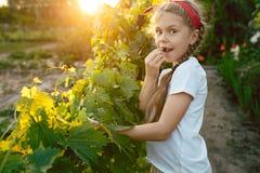 Il brunch della ragazza e dell'uva del bambino, lavoro su un'azienda agricola familiare Fotografie Stock