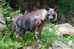 Il brunnea di Parahyaena dell'iena/iena di Brown ha chiamato lo strandwolf, il giardino zoologico, il distretto di Troja, Praga,  immagini stock