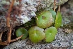 Il Bryophyta basale Fotografia Stock Libera da Diritti