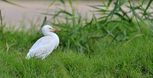 Il bubulcus ibis dell'airone guardabuoi sul fondo dell'erba verde Fotografia Stock
