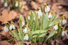 il bucaneve fresco della molla fiorisce le donne felici della foresta il giorno nella carta dell'invito dell'8 marzo macro colpo  Fotografia Stock Libera da Diritti