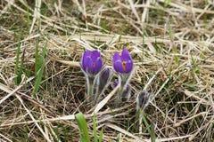 Il bucaneve ha messo in pericolo i primi fiori di marzo della molla dell'offerta, primo piano Immagini Stock Libere da Diritti