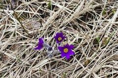 Il bucaneve ha messo in pericolo i primi fiori di marzo della molla dell'offerta, primo piano Fotografie Stock Libere da Diritti