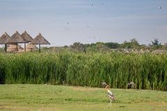 Il bucero era camminante e volante in mondo di safari fotografie stock libere da diritti