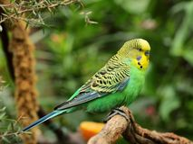 Il budgerigar Fotografia Stock Libera da Diritti