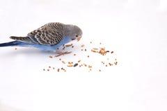 Il budgie blu mangia i grani su un fondo bianco Fotografia Stock
