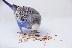 Il budgie blu mangia i grani su un fondo bianco Immagini Stock