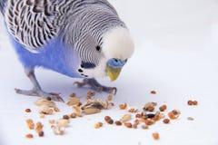 Il budgie blu mangia i grani su un fondo bianco Fotografie Stock Libere da Diritti