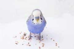 Il budgie blu mangia i grani su un fondo bianco Immagini Stock Libere da Diritti