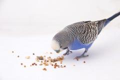 Il budgie blu mangia i grani su un fondo bianco Immagine Stock