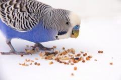 Il budgie blu mangia i grani su un fondo bianco Fotografie Stock