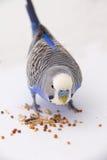 Il budgie blu mangia i grani su un fondo bianco Fotografia Stock Libera da Diritti