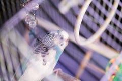 Il budgie domestico blu si siede nel birdcage Fotografie Stock Libere da Diritti