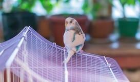 Il budgie domestico blu si siede sul tetto della gabbia Immagini Stock