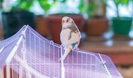 Il budgie domestico blu si siede sul tetto della gabbia Immagini Stock Libere da Diritti