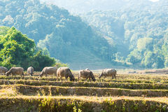 Il bufalo asiatico mangia l'erba sul campo Immagine Stock
