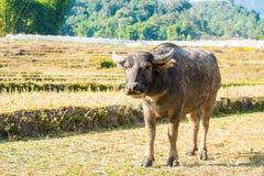 Il bufalo asiatico mangia l'erba sul campo Immagini Stock