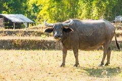 Il bufalo asiatico mangia l'erba sul campo Fotografie Stock Libere da Diritti