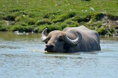Il bufalo d'acqua Fotografia Stock Libera da Diritti