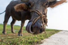 Il bufalo d'acqua o bufalo d'acqua asiatico domestico, Vietnam fotografie stock libere da diritti