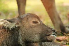 Il bufalo della madre sta curando il suo bambino thailand Fotografia Stock
