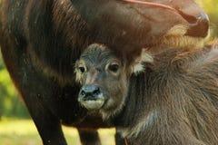 Il bufalo della madre sta curando il suo bambino thailand Immagini Stock