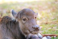 Il bufalo della madre sta curando il suo bambino thailand Fotografie Stock Libere da Diritti