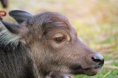 Il bufalo della madre sta curando il suo bambino thailand Fotografia Stock Libera da Diritti