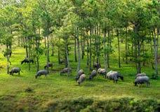 il bufalo nella foresta dei pini Fotografia Stock Libera da Diritti