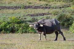Il bufalo selvaggio vive nell'abetaia, ha un'abitudine di vivere nella parte 5 dei pascoli immagine stock