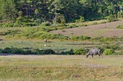 Il bufalo selvaggio vive nell'abetaia, ha un'abitudine di vivere nella parte 4 dei pascoli fotografia stock